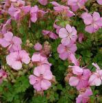 Dalmatiner Storchschnabel Bressingham Pink - Geranium cultorum