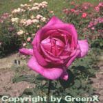 Edelrose Parole® 30-60cm