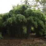 Gigantischer Gartenbambus Jonnys Gigant® 60-80cm - Fargesia murielae