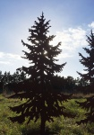 TANNE 1, 5m Gartenstecker Weihnachtsbaum Tannenbaum Christbaum Rost Edelrost