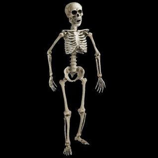 Skelett Lebensgroß 160 cm Beweglich / Lehrmodell / Anatomie / Halloween Deko #76