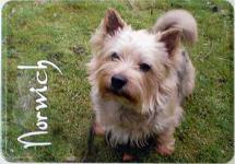Blechpostkarte Hunde - Norwich