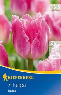 Tulipa Dallas, 7 Stück Blumenzwiebeln , Grundpreis: 0.57 € pro 1