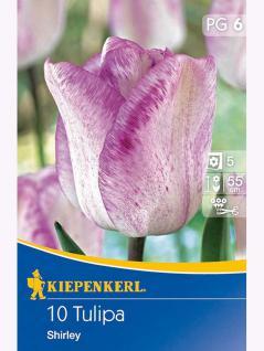 Späte Tulpen Shirley weiß purpurblauer Rand