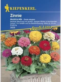 Zinnia elegans Zinnie Musica Mischung