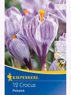 Crocus Pickwick, 12 Stück Blumenzwiebeln , Grundpreis: 0.33 € pro 1
