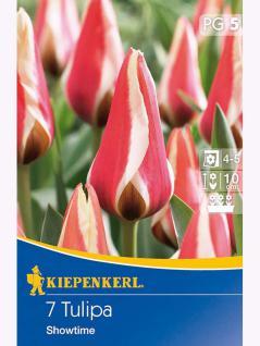 Greigii-Tulpen Showtime blutrot weißer Rand
