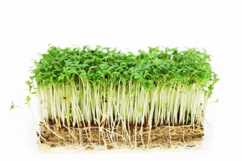 Gartenkresse Einfache Grüne Sprint 1kg