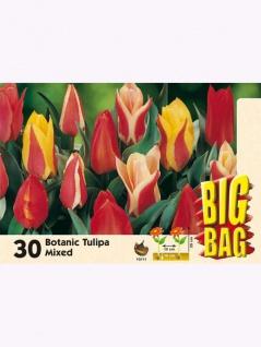 Big Bag Botanische Tulpen Mischung 30 Stück