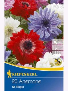Anemone St.Brigid, 20 Stück Blumenzwiebeln , Grundpreis: 0.18 € pro 1