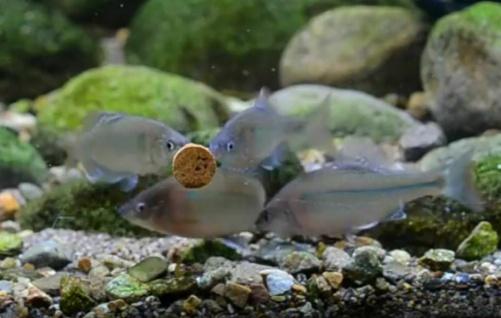 Tetra Tips 450x Futter-Tabletten Fisch-Futter Zierfischfutter Hafttabletten Tabs - Vorschau 5