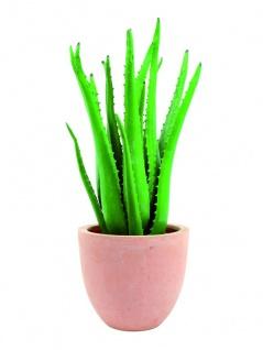 EUROPALMS Aloe-Vera-Pflanze, 63cm