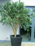 EUROPALMS Riesen-Olivenbaum, 250cm