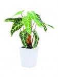 EUROPALMS Caladiumpflanze, grün-gelb, 35cm