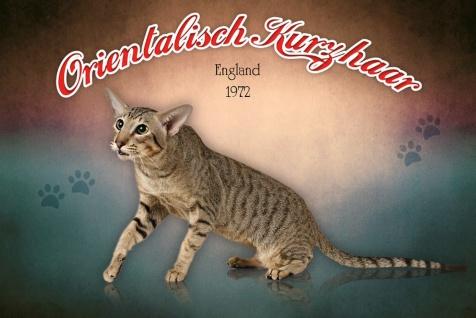 Schatzmix Blechschild orientalisch Kurzhaar England 1972 Katze