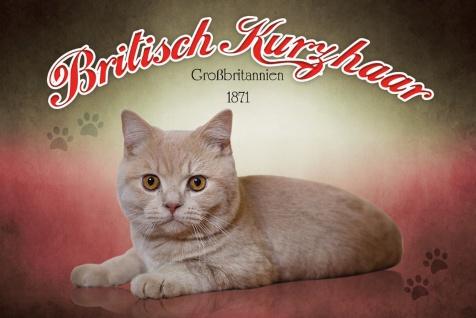 Schatzmix Blechschild Britisch Kurzhaar Großbritannien 1871 Katze Metallschild 20x30 cm Wanddeko tin sign