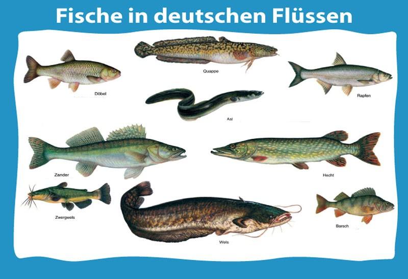 Rombo Fisch Auf Deutsch