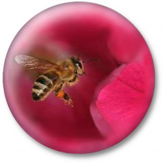 (16094 rund) MAGNETBUTTON mit MOTIV - BIENE BEE - Gr. ca. 5, 7cm - Metall-Magnet Küchenmagnet - Imker Biene