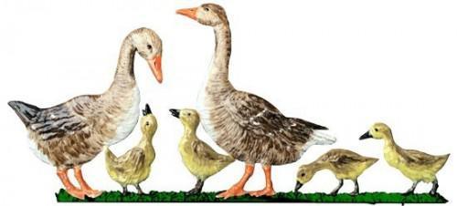 Wildgans Familie stehend
