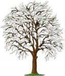 Kirschbaum weiß
