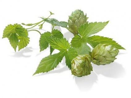 Hopfen Hallertau Mittelfrüh 4% alpha 50g Rohhopfen Aromahopfen Bier brauen