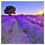 levandeo Glasbild 30x30cm Wandbild Glas Lavendel Feld Sonne Landschaft Deko
