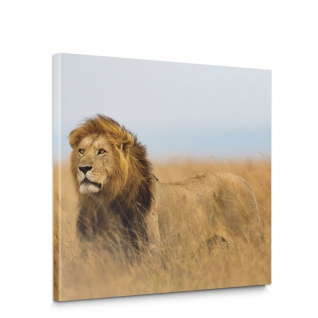 Leinwandbild Löwe Tier Natur Afrika Katze | no. 5052