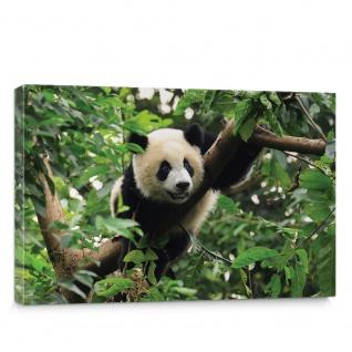 Leinwandbild Natur Wild Panda Pandabär Bär Bärchen Bambus Dschungel | no. 4914