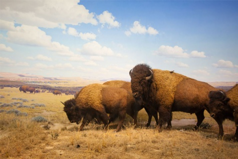 Bison Büffel Outback Natur Poster P0140