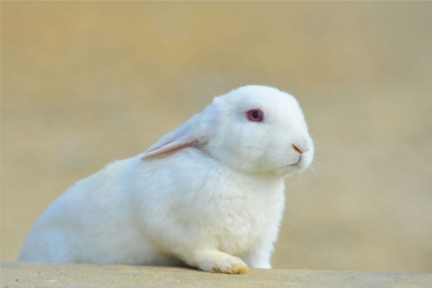 Hase Kaninchen Tier Natur Poster P0187