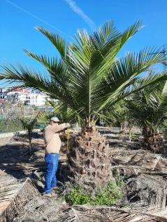 Jubaea Chilensis 350 cm Winterhart bis -20 Grad Premium Qualität 130 cm Stamm
