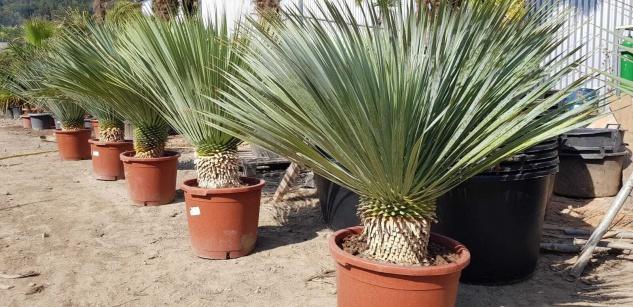 Palme Yucca Rostrata Höhe 150 cm Winterhart bis -19 Grad Premium Qualität