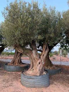Olivenbaum 600 Jahre Alt Winterhart bis -18 Höhe ca. 400 cm Olea Europaea