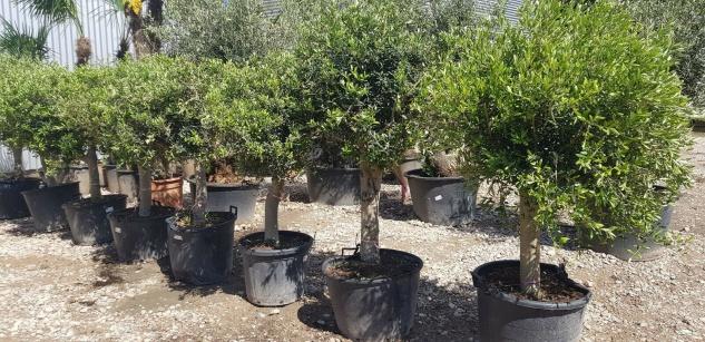 Olivenbaum Winterhart bis -18 Höhe ca. 200 cm Olea Europaea Premium Qualität