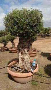 Olivenbaum Safaris Bonsai Höhe ca. 200 cm Olea Europaea Premium Qualität