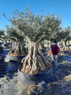 Olivenbaum 300 Jahre Alt Winterhart bis -18 Höhe ca. 300 cm Olea Europaea