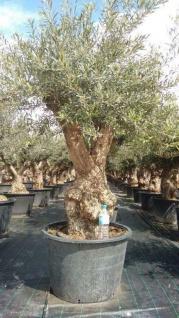 Olivenbaum 200 Jahre Alt Winterhart bis -18 Höhe ca. 300 cm Olea Europaea Gordal