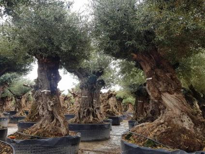 Olivenbaum 500 Jahre Alt Winterhart bis -18 Höhe ca. 350 cm Olea Europaea