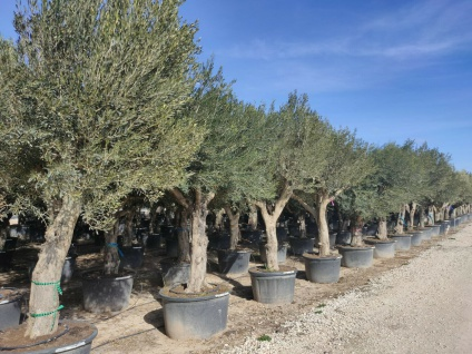 Olivenbaum Winterhart bis -18 Höhe ca. 250 cm Olea Europaea Huesca Neu