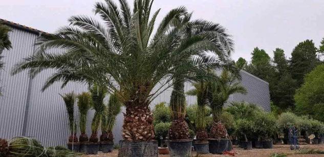 Palme Phoenix Canariensis HÖHE 6 Meter Winterhart -12 Grad Dattelpalme Premium