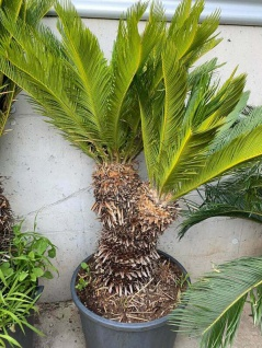 Palme Cycas Revoluta Höhe 180 cm Winterhart -8 Grad Premium Qualität mit 2 Köpfe