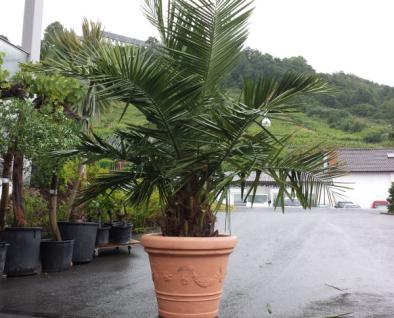 Jubaea Chilensis 200 cm Winterhart bis -20 Grad Premium Qualität aus Spanien