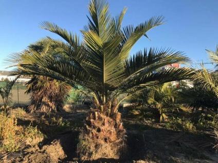Jubaea Chilensis 350cm Winterhart bis -20 Grad Premium Qualität 100 cm Stamm VIP