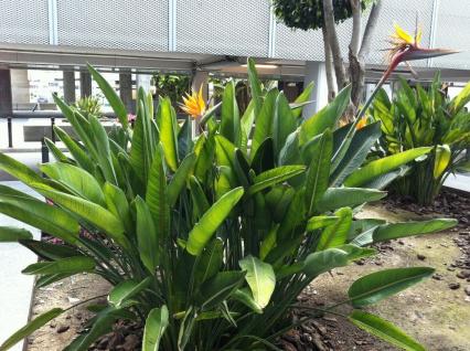Strelitzia reginae Höhe ca. 160 cm Paradiesvogelblume sehr schöne Qualität