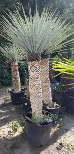 Palme Yucca Rigida Höhe 200 cm Winterhart bis -19 Grad Premium Qualität