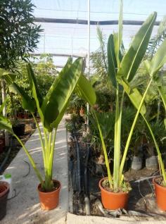 Ravenala madagascariensis Baum der Reisenden H 2, 50 Meter Traumhaft schöne Palme
