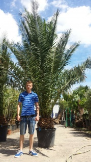 Palme Phoenix Canariensis HÖHE 4 Meter Winterhart -12 Grad Dattelpalme Premium