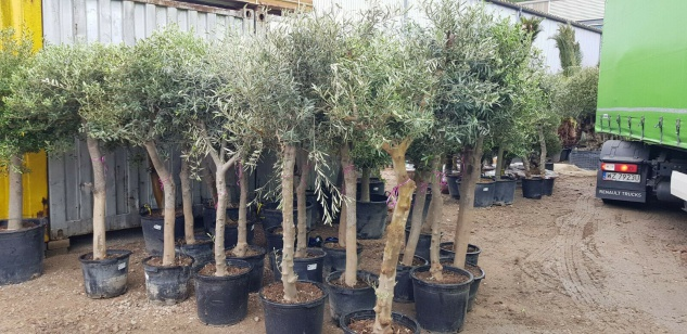 Olivenbaum Winterhart bis -18 Höhe ca. 200 cm Olea Europaea aus Spanien