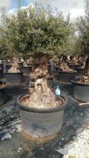 Olivenbaum 150 Jahre Alt Winterhart bis -18 Höhe ca. 220 cm Olea Europaea