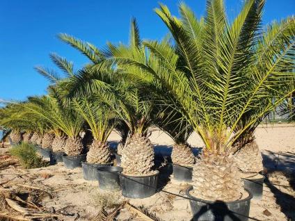 Palme Phoenix Canariensis HÖHE 4 Meter Winterhart -12 Grad Dattelpalme 80 cm Sta